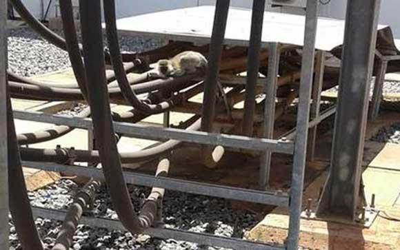 Обезьяна вызвала ЧП на кенийской электростнации