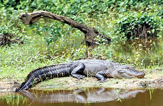 Аллигатор затащил ребенка на глубину на глазах у родителей