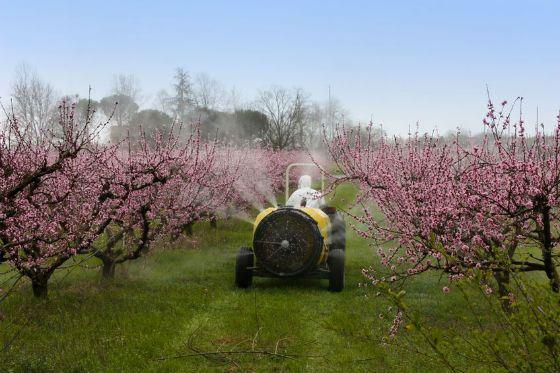 В промышленных масштабах фрукты выращивают, используя химию