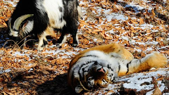 Тигр Амур и козел Тимур вместе гуляют по вольеру