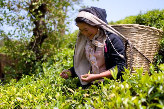 Чайный куст Camellia sinensis может давать урожай в течение 50 лет