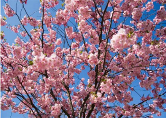 В Токио зафиксировали самое раннее за всю историю цветение сакуры