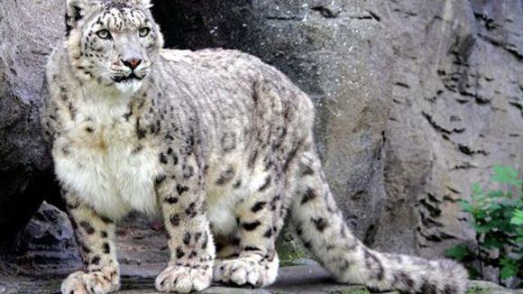 Снежного барса из зоопарка Николаева отравили неизвестные