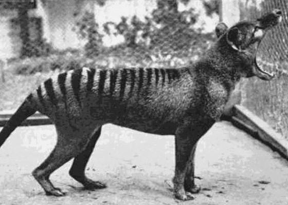 Последнее фото вымерших Тасманских тигров, 1933.