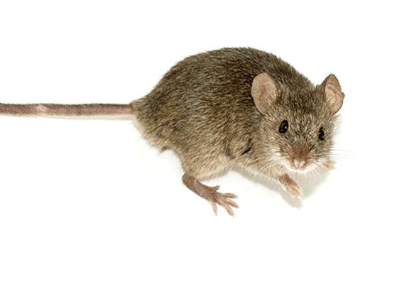 Римляне использовали мозги мыши, чтобы почистить зубы.