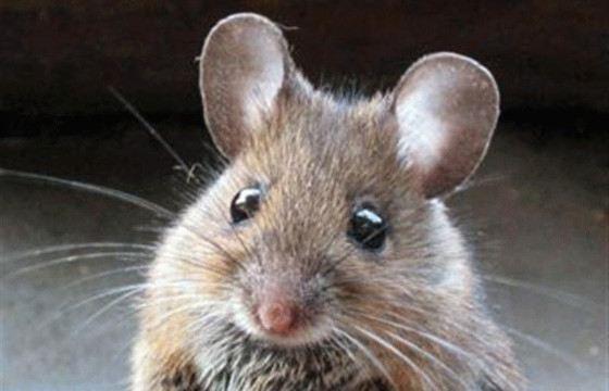 Некрасивые брови часто маскировались с помощью маленьких кусочков мышиной кожи