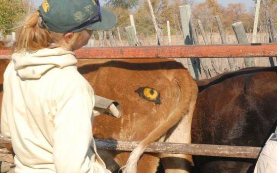 Коровы под защитой «пристального взгляда»