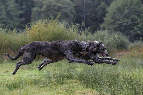 Дирхаунды выводились для охоты на оленей