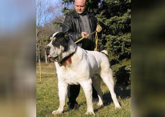 Самый большой пес России Бульдозер и его хозяин
