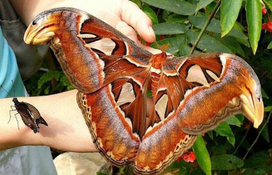 Размах крыльев бабочки может достигать 26 см