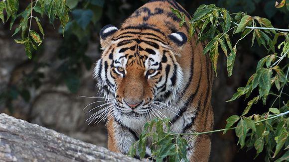 Гуляющий по городу тигр переполошил жителей Владивостока