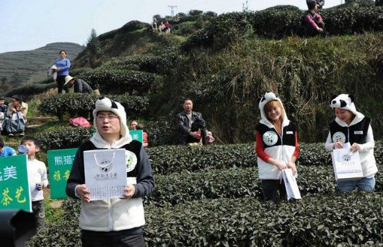 Panda Dung Tea Plantation Feeds with Panda Feces