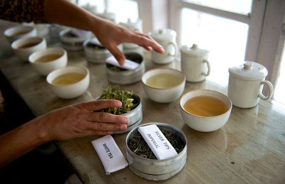 Этот чай собирают исключительно в полнолуние