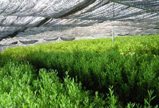 Gyokuro matures in the shade
