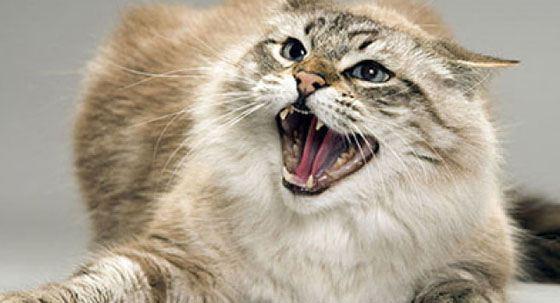 Разъяренный кот набросился на своих хозяев