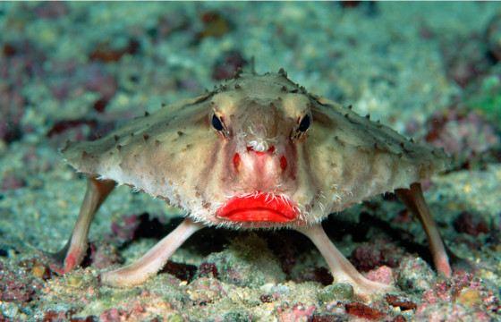 нетопырь живет на глубине от 200 до 1000 метров