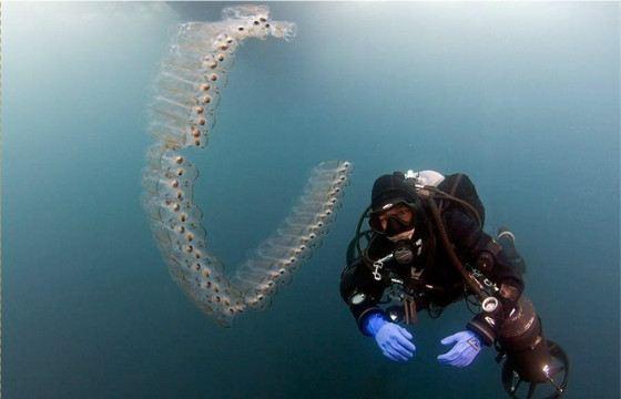 Сальпы могут образовывать цепочки до метра длинной
