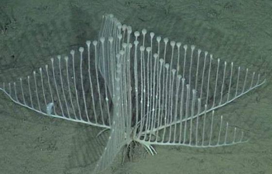 Губка-арфа обитает на глубине от 3—3,5 км