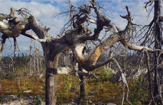 Не все деревья Шардонского архипелага стремятся ввысь