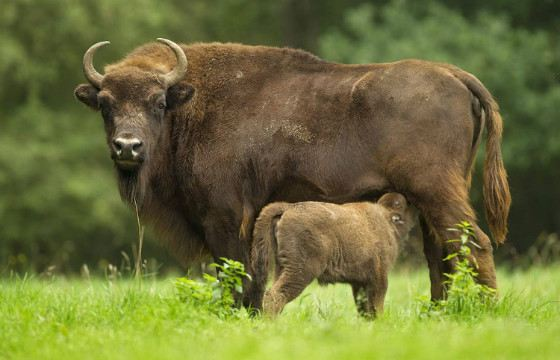The weight of an adult bison reaches 8 quintals