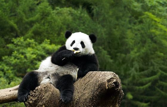 In addition to bamboo, pandas sometimes eat food of animal origin.