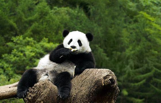 Кроме бамбука панды иногда едят пищу животного происхождения