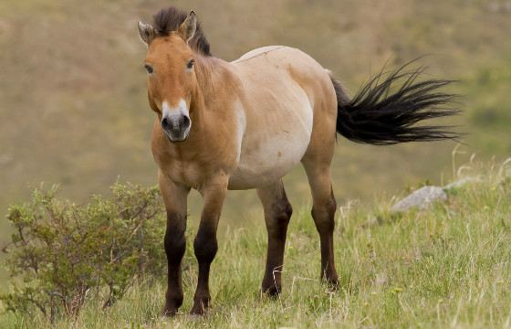 Przewalski's horses - the only subspecies of wild horses that exists on Earth