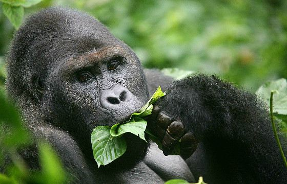 DNA of gorillas and humans is 95-99% similar.