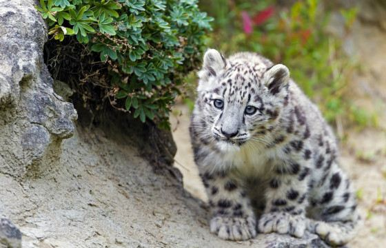 Snow leopard can jump 6 meters in length