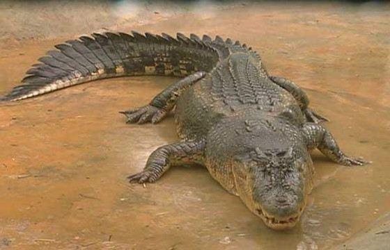 Philippine crocodile quite aggressive