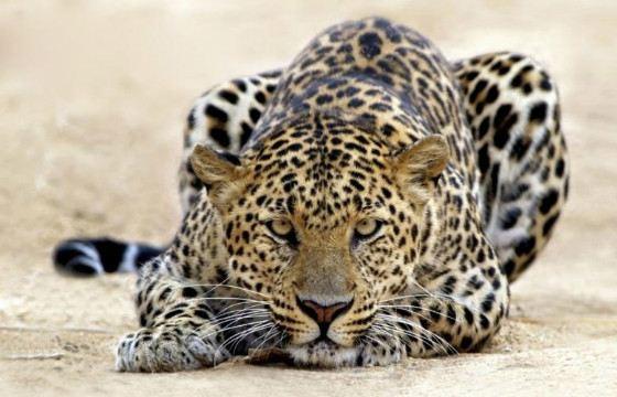 Дальневосточный леопард занесен в Красную книгу