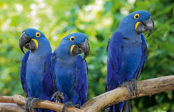 """Blue macaws became heroes of the cartoon """"Rio"""""""