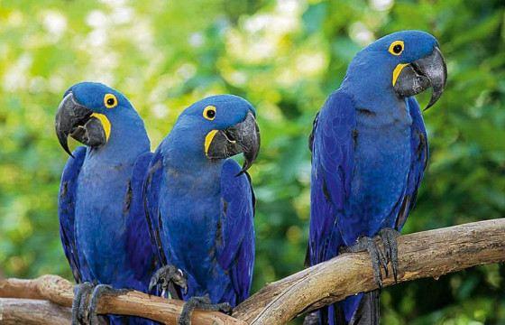 Голубые ара стали героями мультфильма «Рио»