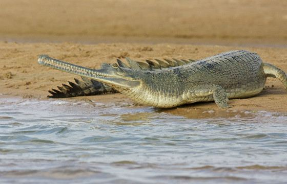 Of all the crocodiles, gavials spend the most time in the water.