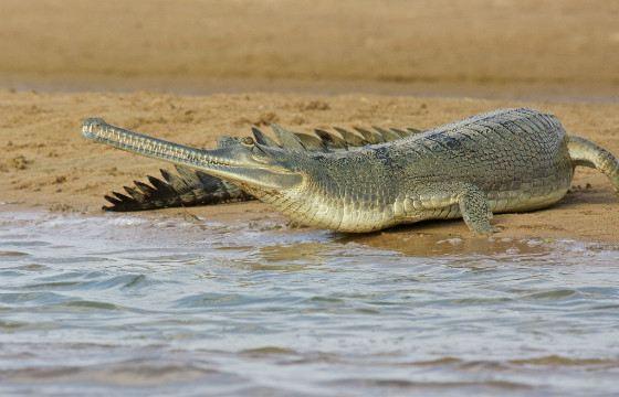 Из всех крокодилов гавиалы больше всего проводят времени в воде