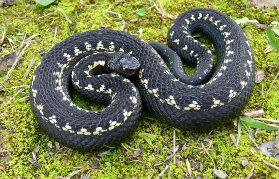 Ядовитые змеи - неприятные соседи