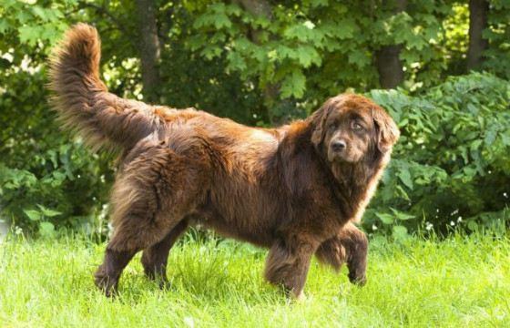 Сенбернары и ньюфаундленды - собаки рекордсмены