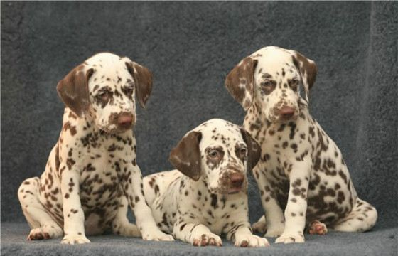 Dalmatians are serious guard dogs