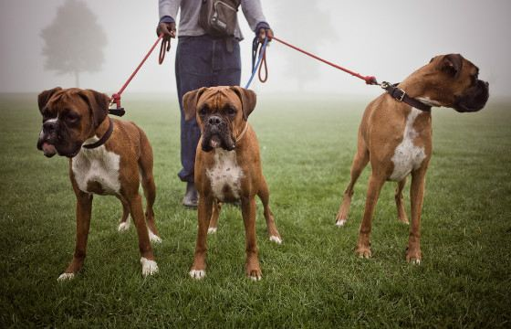 Boxers - breed, bred in Germany