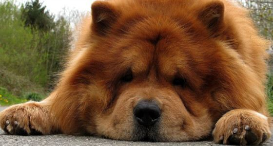 Chow-chow - one of the oldest breeds of dogs