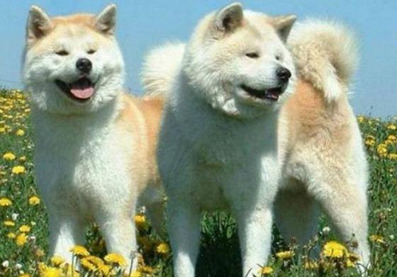 Eskimo husky - very hardy dogs