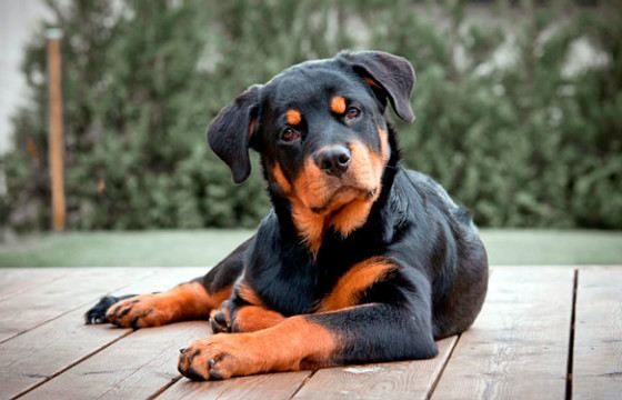 The breed is named after the city of Rottweil, where it was bred
