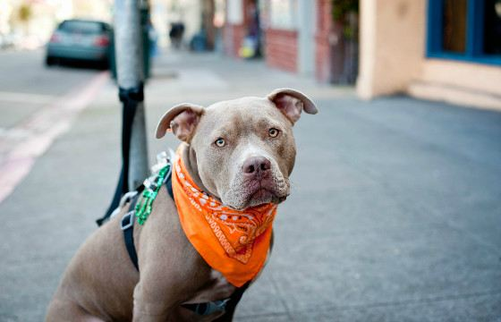 Pitbulls have become the talisman of America in the First and Second World Wars