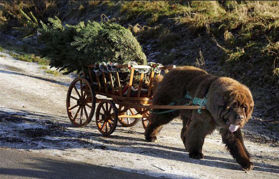 Ньюфаундленды Йоркшира развозят елки к Рождеству