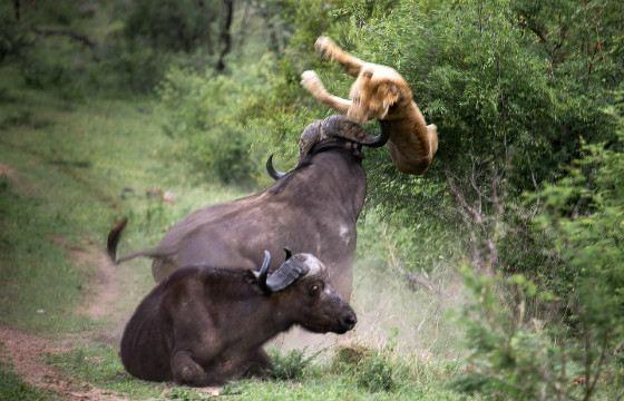 В стычке буйвола со львом последний часто проигрывает