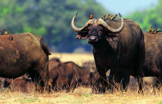 Умиротворенный вид буйвола обманчив