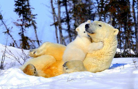 Белые медведи не впадают в спячку