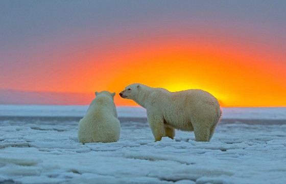 Белые медведи подвержены вспышкам гнева после неудач на охоте
