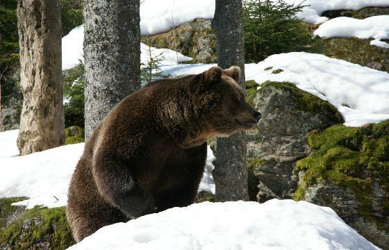 Медведь-шатун очень опасен