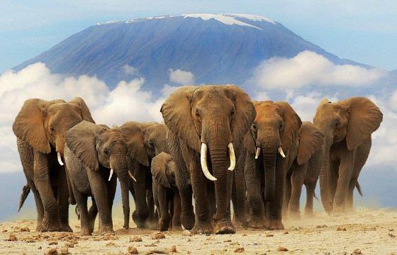 Слоны испытывают печаль и радость, скучают и помогают сородичам